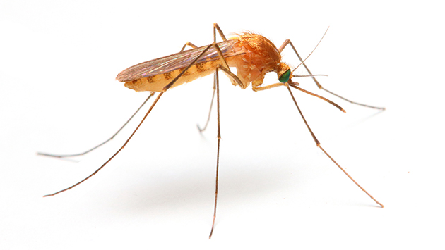Salud: la guerra del mosquito