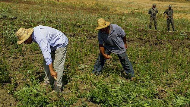 Marruecos se plantea la legalización del cannabis